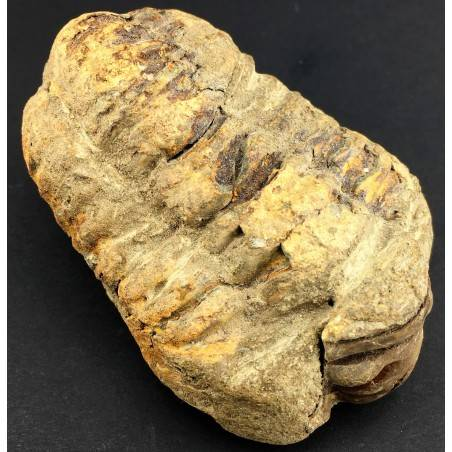 GRANDE TRILOBITE FOSSILE Marocco CALYMENE TRISTANI Minerali Grezza Collezionismo-2